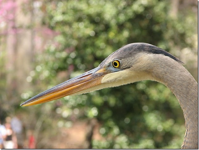 Maryann Goldman, Great Blue Heron