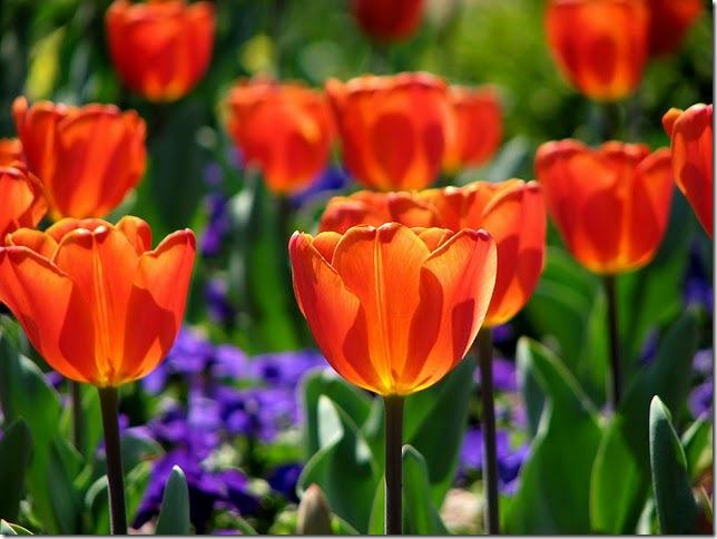 Maryann Goldman, red tulips