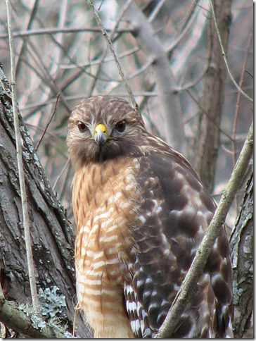 Maryann Goldman, Red Shouldered Hawk