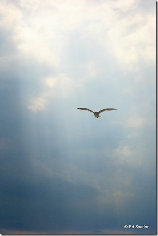 seagull in flight, cape cod, negative space