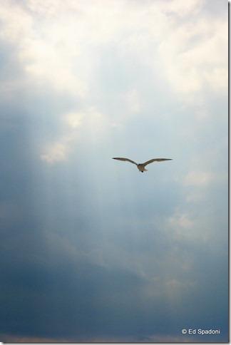seagull in flight, cape cod, negative space