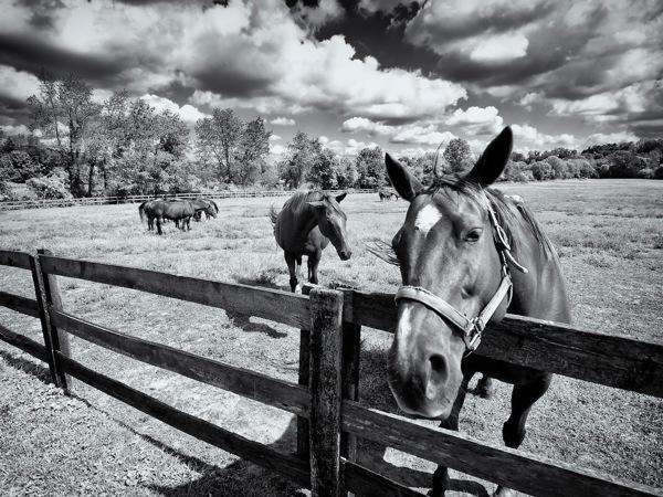 Infrared Horses.jpg