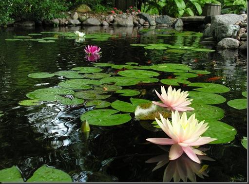 water lilies jul 6 024 (2)