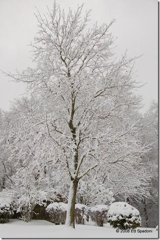 Tree in snow, P, f/6.3, 1/160 sec, EV +.67