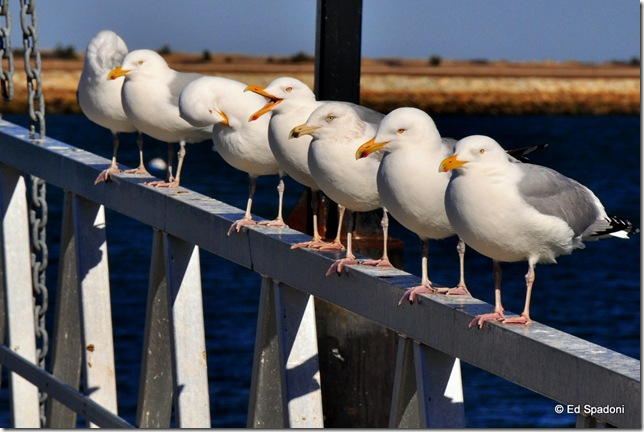 Seagulls on a rail, circular polarizer