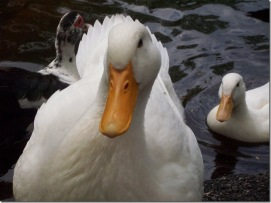 Ducks, by Kyle