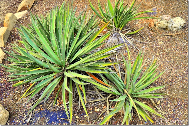 Arizona palm plant
