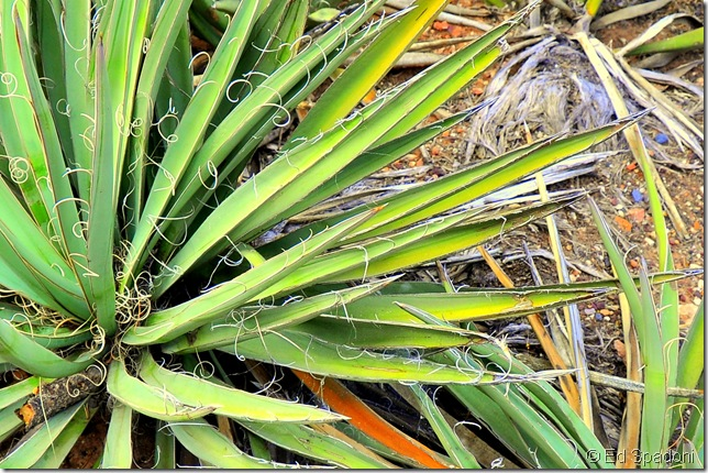 Arizona palm plant, cropped for a close up