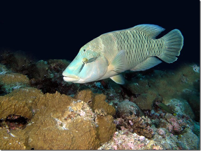 blue tropical fish Napolean Wrasse by Mark James