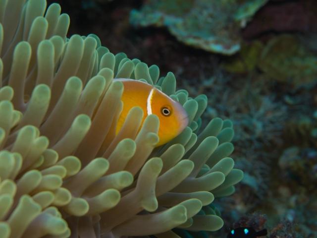 Orange tropical fish photographed at Laulau by Mark James