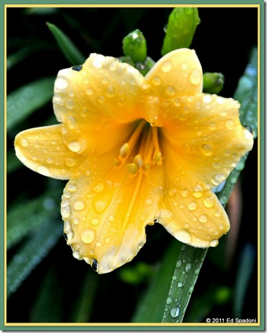 A yellow Day Lily covered with dew