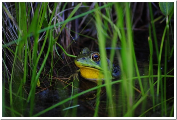 A frog in Grafton pond, by Rodney Daly