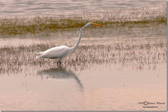 Egret by Dennis Warren