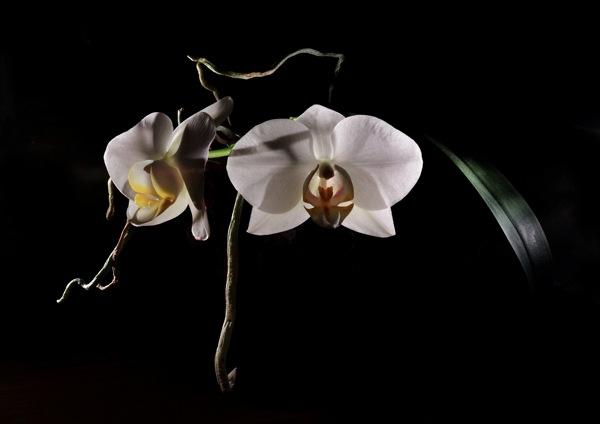 Orchid 002 crop