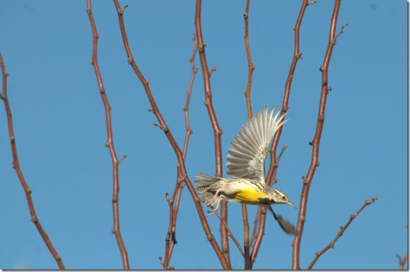 Western Meadowlark by Judy Horton