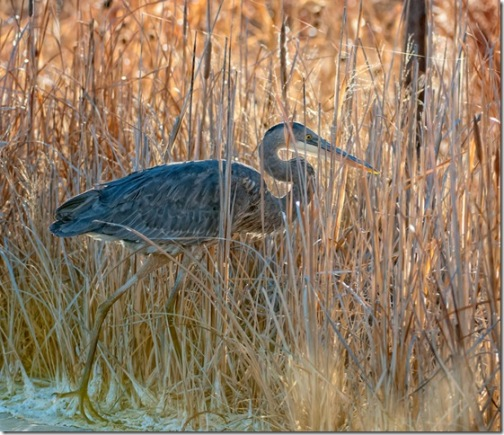 Great Blue Heron by Judy Horton, in a marsh with warm light