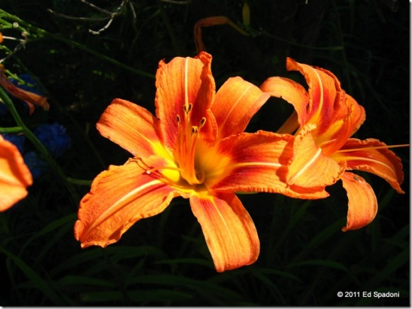 Orange lily on black background