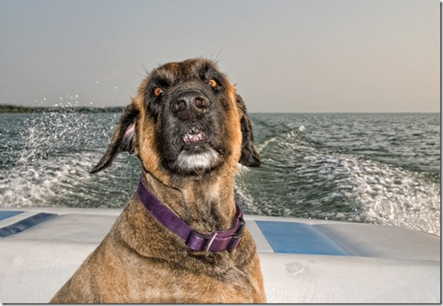 Meet our wonderful companion, Bruno. This may not be the best shot of him that I've ever taken, but it is definitely the funniest.  I love it and I laugh every time I look at it. It might be difficult to tell, but he really does love riding in the boat & has his very own seat at the back. Sometimes he finds the driving a little disturbing, this may have been one of those moments... lol...!  12mm - 60mm lens at 20mm, F8 at 1/250s, ISO 200 using hand held flash, off camera on auto.