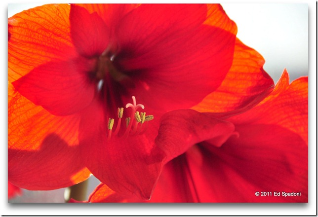 Red Amaryllis flower close-up