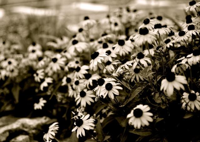 """black eyed susans"", ""beach photo"", ""flower photo"""