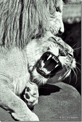 Two lions fighting in B&W
