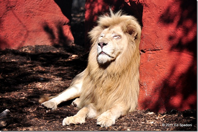 Ramses, the lion, basks in the sun