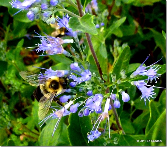 A Bee landed on a blue flower