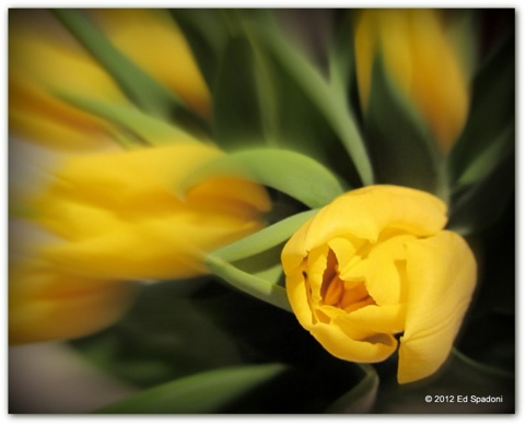 Yellow Tulip (c) 2012 Ed Spadoni