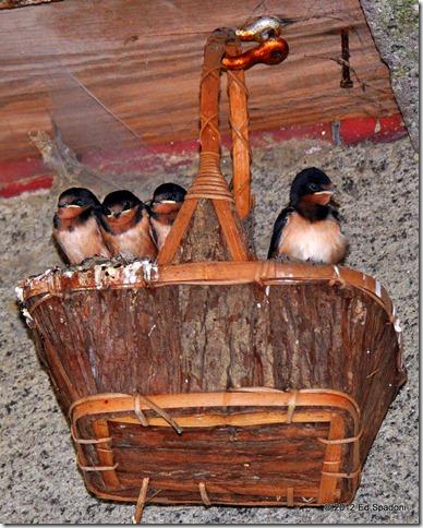 Baby barn swallows, Castle Island