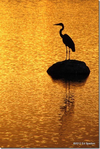 Heron on golden water, solitude, 2 guys photo, canon, ed spadoni
