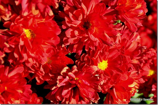chrysanthemums, red, fall, 2 guys photo