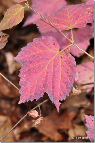 rocky woods, medfield, leaf, foliage, fall, autumn, pink, red, 2 guys photo