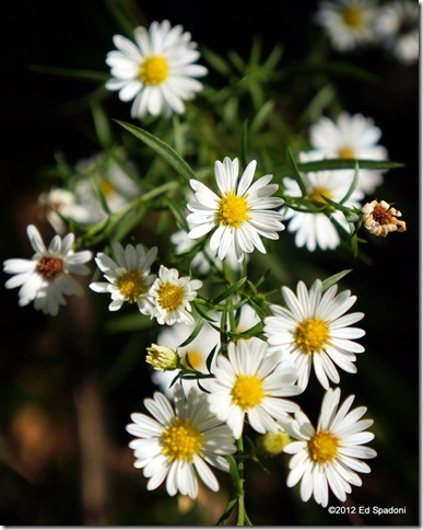 standing out, daisy, wildflowers, 2 guys photo, NEX 5N, Sony, macro