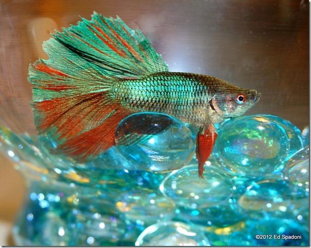 Betta fish, 2 guys photo