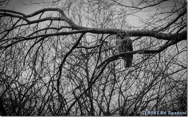 owl, black and white, BW, Sony NEX 6, forest