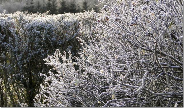 BW, black and white, Elizabeth Liddell, frost, hedges, bushes, Scotland, Sony HX1