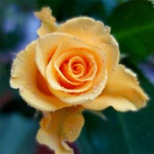 Elisabeth Liddell, roses, yellow, Sony RX100