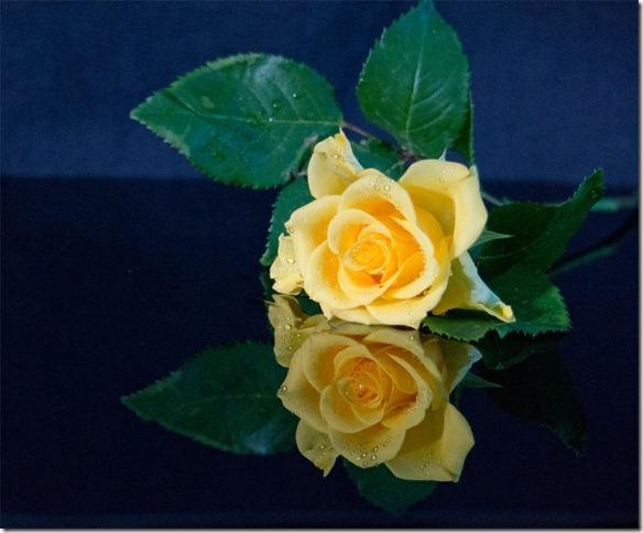 Elisabeth Liddell, roses, yellow, Sony NEX 6