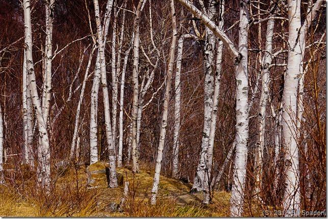 birch tree, tree, forest, new hampshire