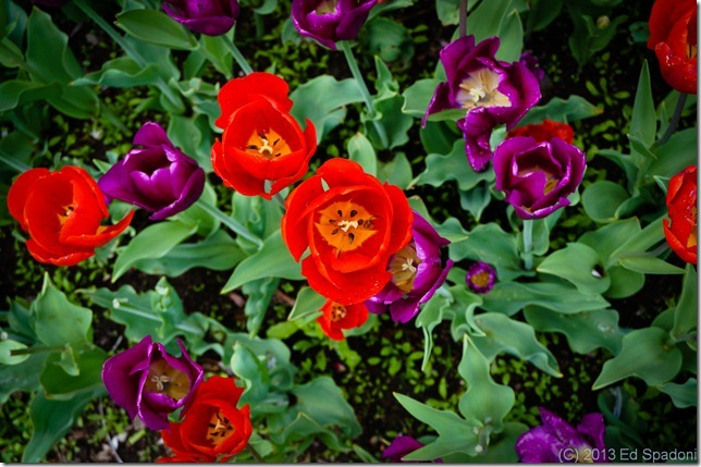 boston, public garden, tulips, sony NEX 6, lightroom 4