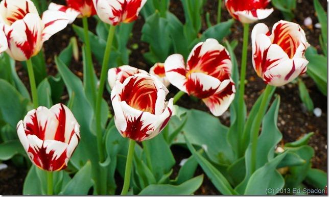 boston, public garden, tulips, variegated, sony NEX 6, lightroom 4