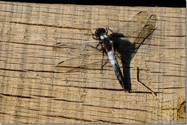 dragonfly, common whitetail skimmer, Sony NEX 6
