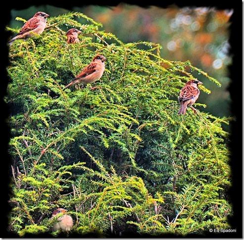 sparrows, birds, shrubs