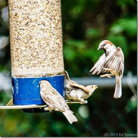 sparrows, birds, birdfeeder, VCL-DH1758