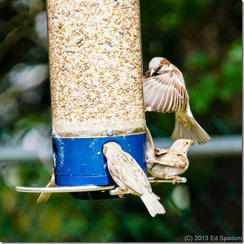 sparrows, birds, birdfeeder, VCL-DH1758